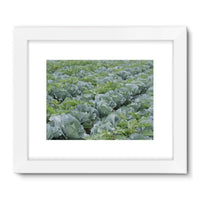 Crops Of Cabbage Framed Fine Art Print 24X18 / White Wall Decor