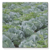 Crops Of Cabbage Stretched Eco-Canvas 10X10 Wall Decor