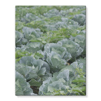 Crops Of Cabbage Stretched Eco-Canvas 11X14 Wall Decor