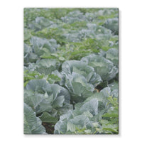 Crops Of Cabbage Stretched Eco-Canvas 18X24 Wall Decor