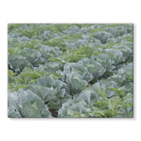 Crops Of Cabbage Stretched Eco-Canvas 24X18 Wall Decor