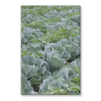 Crops Of Cabbage Stretched Eco-Canvas 24X36 Wall Decor