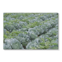 Crops Of Cabbage Stretched Eco-Canvas 36X24 Wall Decor