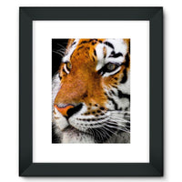 Cute Close-Up Picture Tiger Framed Fine Art Print 12X16 / Black Wall Decor
