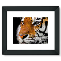 Cute Close-Up Picture Tiger Framed Fine Art Print 16X12 / Black Wall Decor