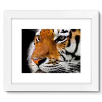 Cute Close-Up Picture Tiger Framed Fine Art Print 16X12 / White Wall Decor