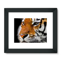Cute Close-Up Picture Tiger Framed Fine Art Print 24X18 / Black Wall Decor