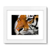 Cute Close-Up Picture Tiger Framed Fine Art Print 24X18 / White Wall Decor