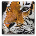 Cute Close-Up Picture Tiger Stretched Eco-Canvas 10X10 Wall Decor