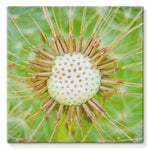 Dandelion Flower Stretched Canvas 10X10 Wall Decor