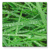 Dew On Blades Of Lush Grass Stretched Canvas 14X14 Wall Decor