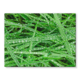 Dew On Blades Of Lush Grass Stretched Canvas 16X12 Wall Decor