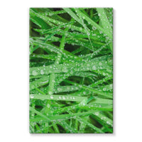 Dew On Blades Of Lush Grass Stretched Canvas 24X36 Wall Decor