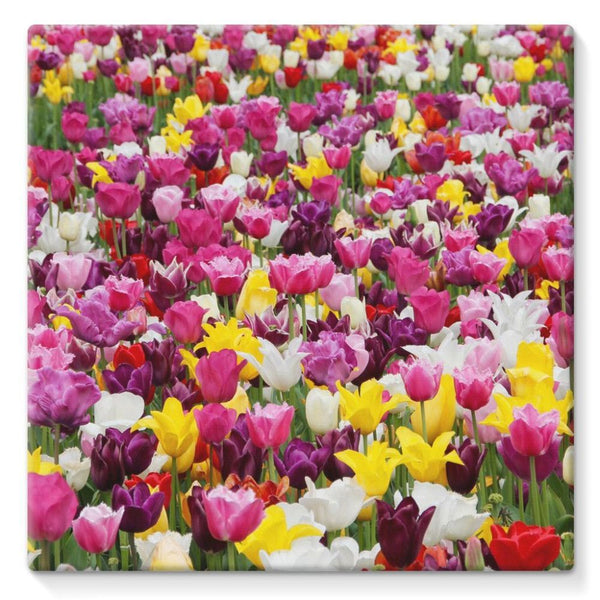 Different Tulips In Holland Stretched Canvas 10X10 Wall Decor