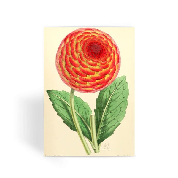 Floral Magazine 1869 Dahlia Greeting Card 1 Prints