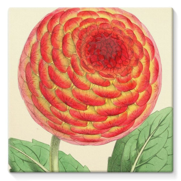 Floral Magazine 1869 Dahlia Stretched Canvas 10X10 Wall Decor