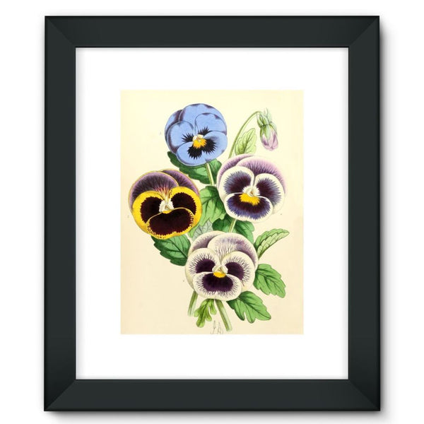 Floral Magazine 1869 Pansies Framed Fine Art Print 12X16 / Black Wall Decor