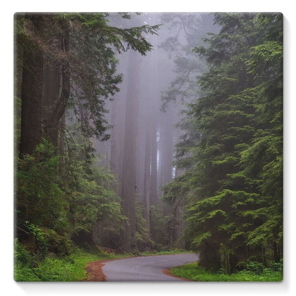 Foggy Redwood National Park Stretched Canvas 10X10 Wall Decor