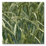 Grains Landscape View Stretched Canvas 10X10 Wall Decor