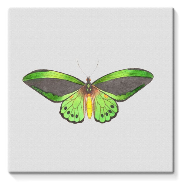 Green Grey Butterfly Stretched Eco-Canvas 10X10 Wall Decor