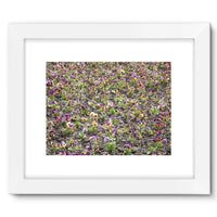 Portulaca Grandiflora Framed Fine Art Print 16X12 / White Wall Decor
