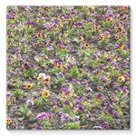 Portulaca Grandiflora Stretched Canvas 10X10 Wall Decor