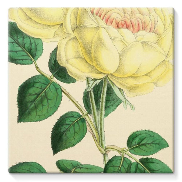 Rose Margottin 1869 Stretched Canvas 10X10 Wall Decor