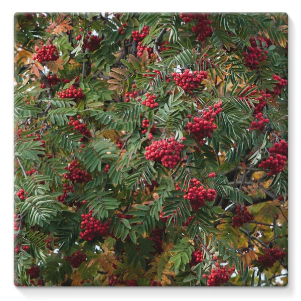 Rowan Berries Stretched Canvas 10X10 Wall Decor