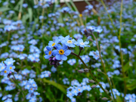 Forget-me-not flowers for Mother's Day