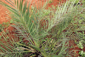 Syagrus Campylospatha Palm Tree - 5 seeds