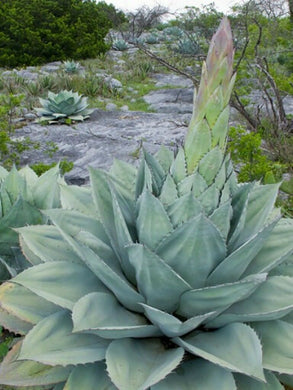 GIANT Whale's Tongue Century Plant - Agave ovatifolia - 10 Seeds - UK Hardy