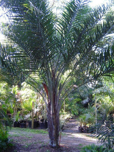 Syagrus Coronata Palm Tree - 5 seeds