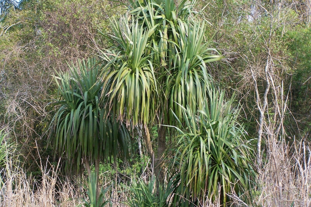 Cordyline sellowia - dracaenoi - Brazilian Palm Tree Seeds - Various Quantities