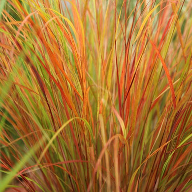 Stipa arundinacea (Anemanthele lessoniana) pheasant's tail grass 2L Litre Plant