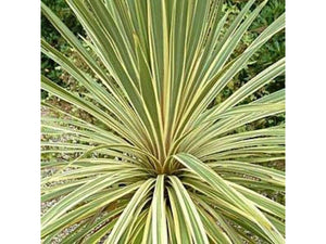 Cordyline Australis Torbay Dazzler Palm Tree Seeds - Various Quantities