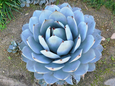 Agave Parryi - 10 Seeds - UK Hardy