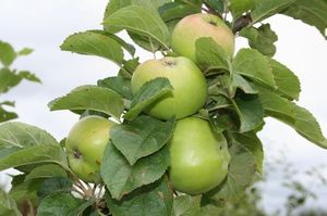 Apple 'Farmer's Glory' 7L Pot - Rootstock MM106