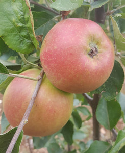 Apple 'Tregonna King' 7L Pot - Rootstock MM106