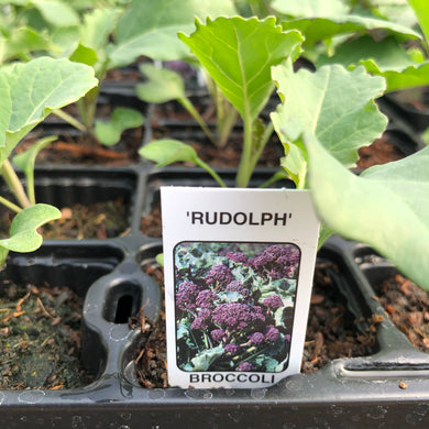 Broccoli (Purple Sprouting) Rudolph