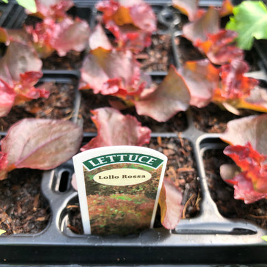 Lettuce Lollo Rossa - 12 pack
