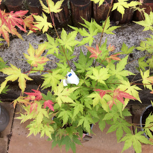 Acer palmatum orange/green 3 Litre Tree