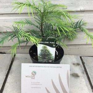 Wollemi Pine Tree 3L Litre
