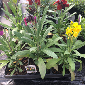 Wallflower Sugar Rush F1 Mix (Autumn/Spring Flowering)