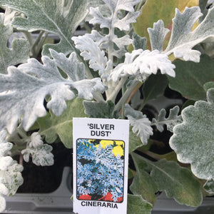Cineraria 'Silver Dust' 6 pack