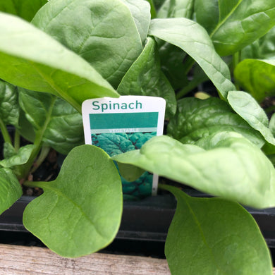 Spinach Amazon F1 - 12 pack