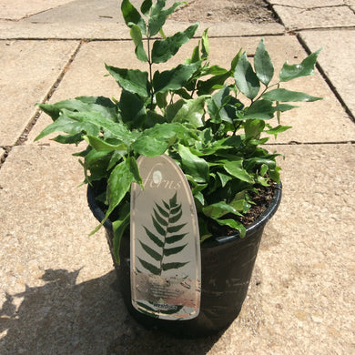 Fortune's Holly Fern - cyrtomium fortunei clivicola3L