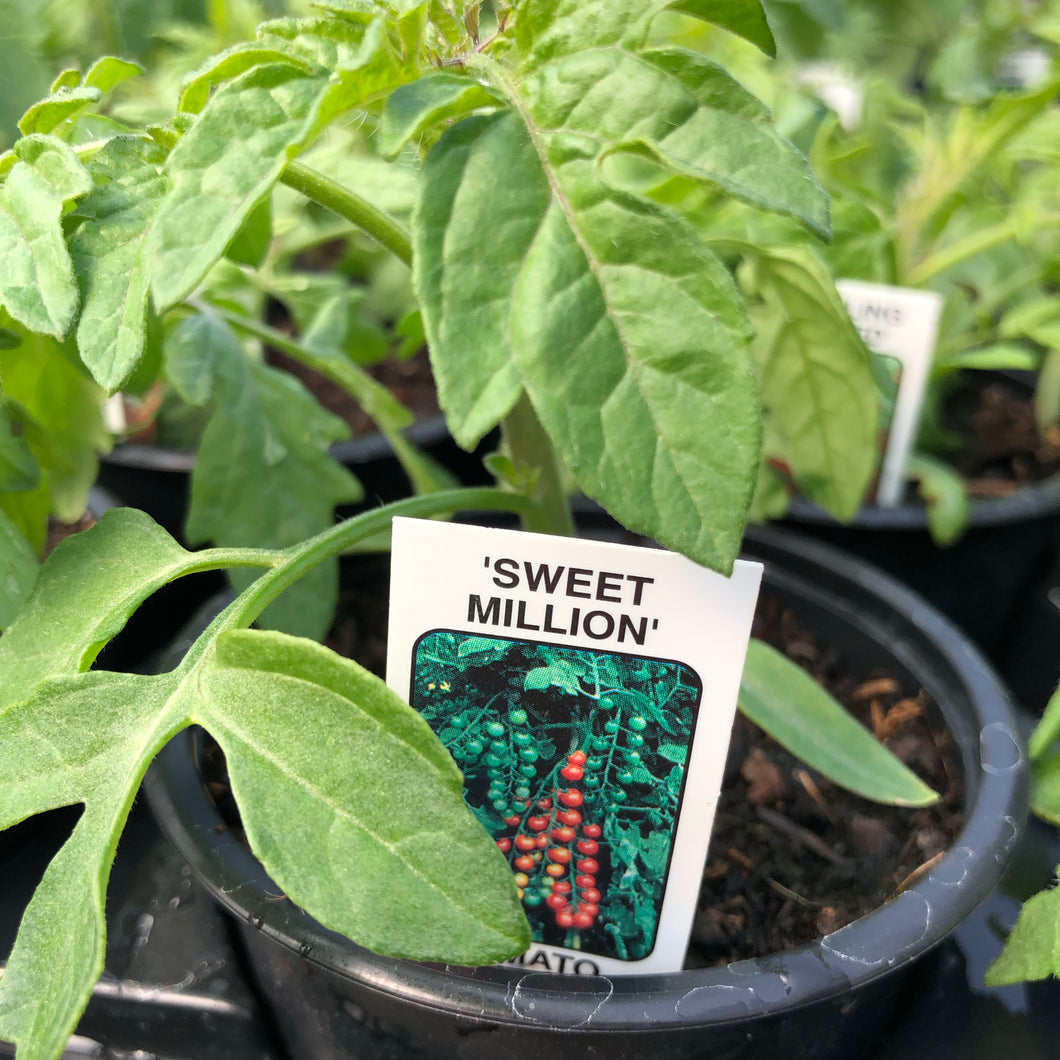 Tomato F1 Sweet Million 9cm pot