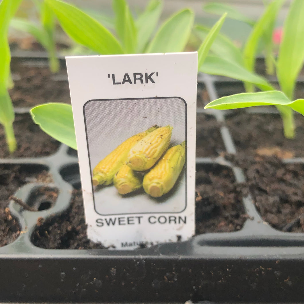 Sweetcorn F1 Lark