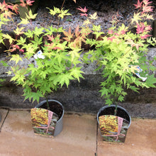 Acer palmatum orange/green 5 Litre Tree