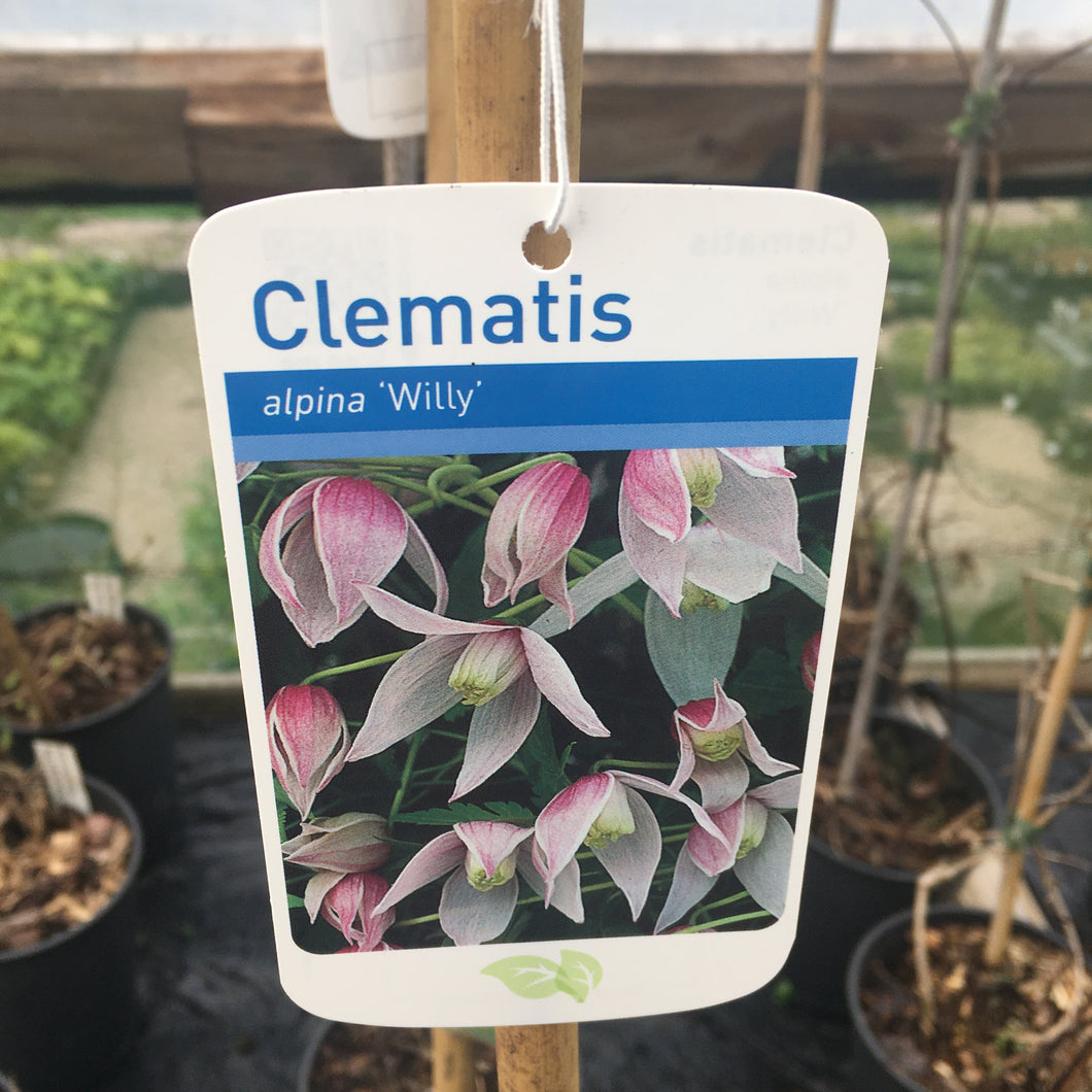 Clematis alpina 'Willy' Large 2L Climber Plant